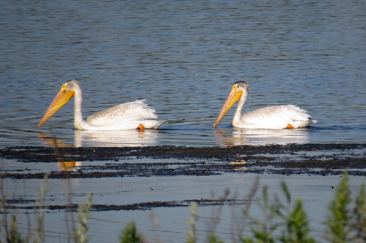 Juvenile American White Pelicans at Windermere Basin