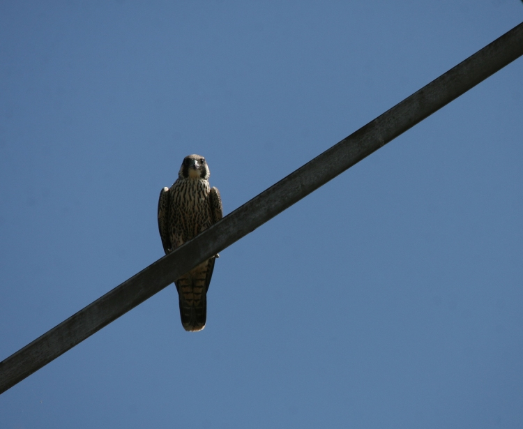 Juvenile Peregrine Falcon peering down prior to taking flight