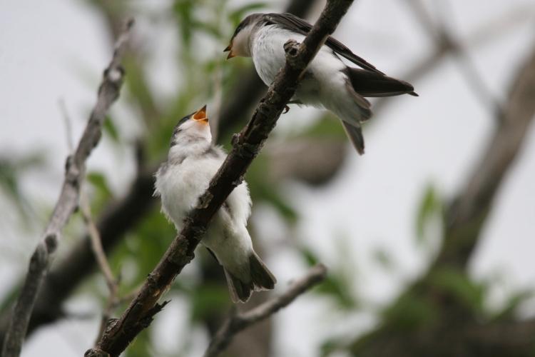 Juvenile Tree Swallows