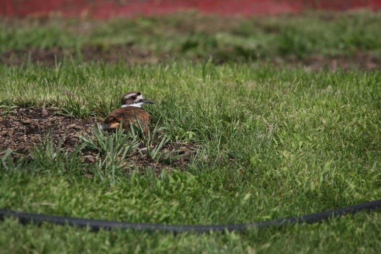 Killdeer resting on front lawn of home