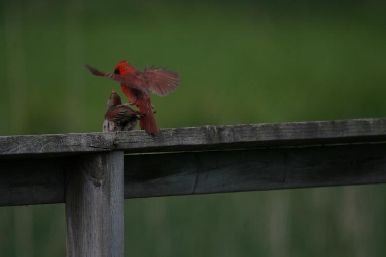 Mating Northern Cardinals