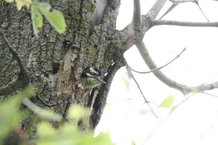 Nestling Downy Woodpecker