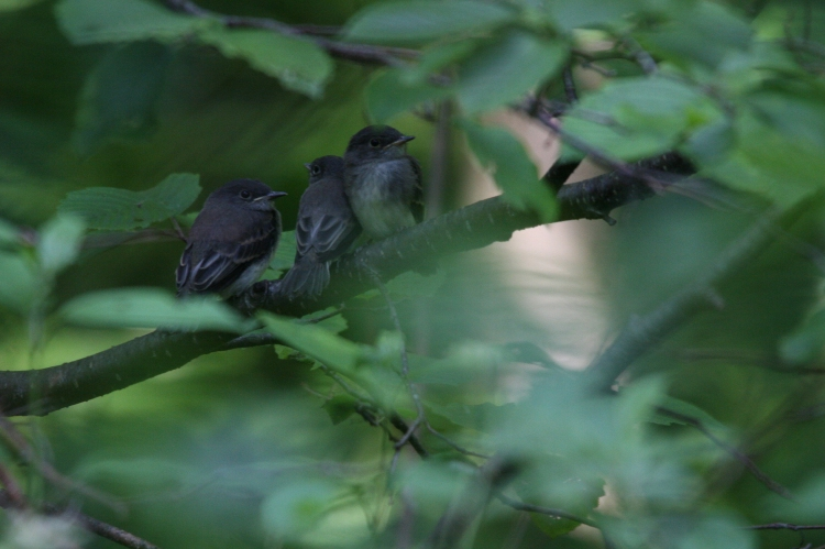 Three of four fledged Eastern Phoebes