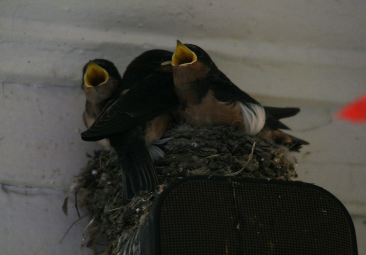Two of three nestlings begging