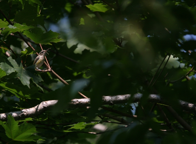 Warbling vireo with twig