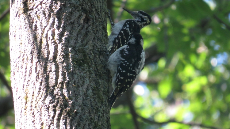 Adult and Juvenile Hairy Woodpeckers