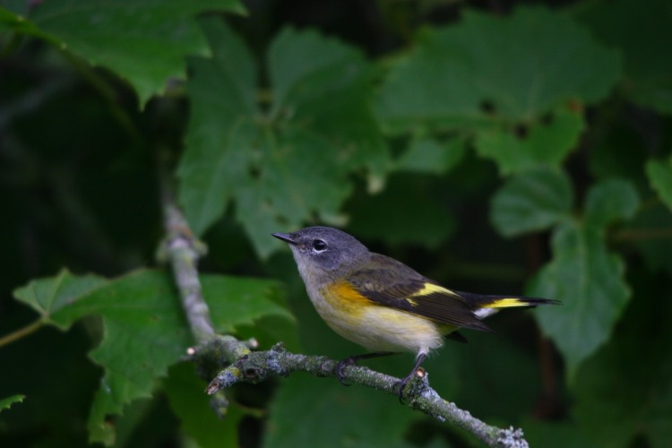 Another look at the juvenile American Redstart