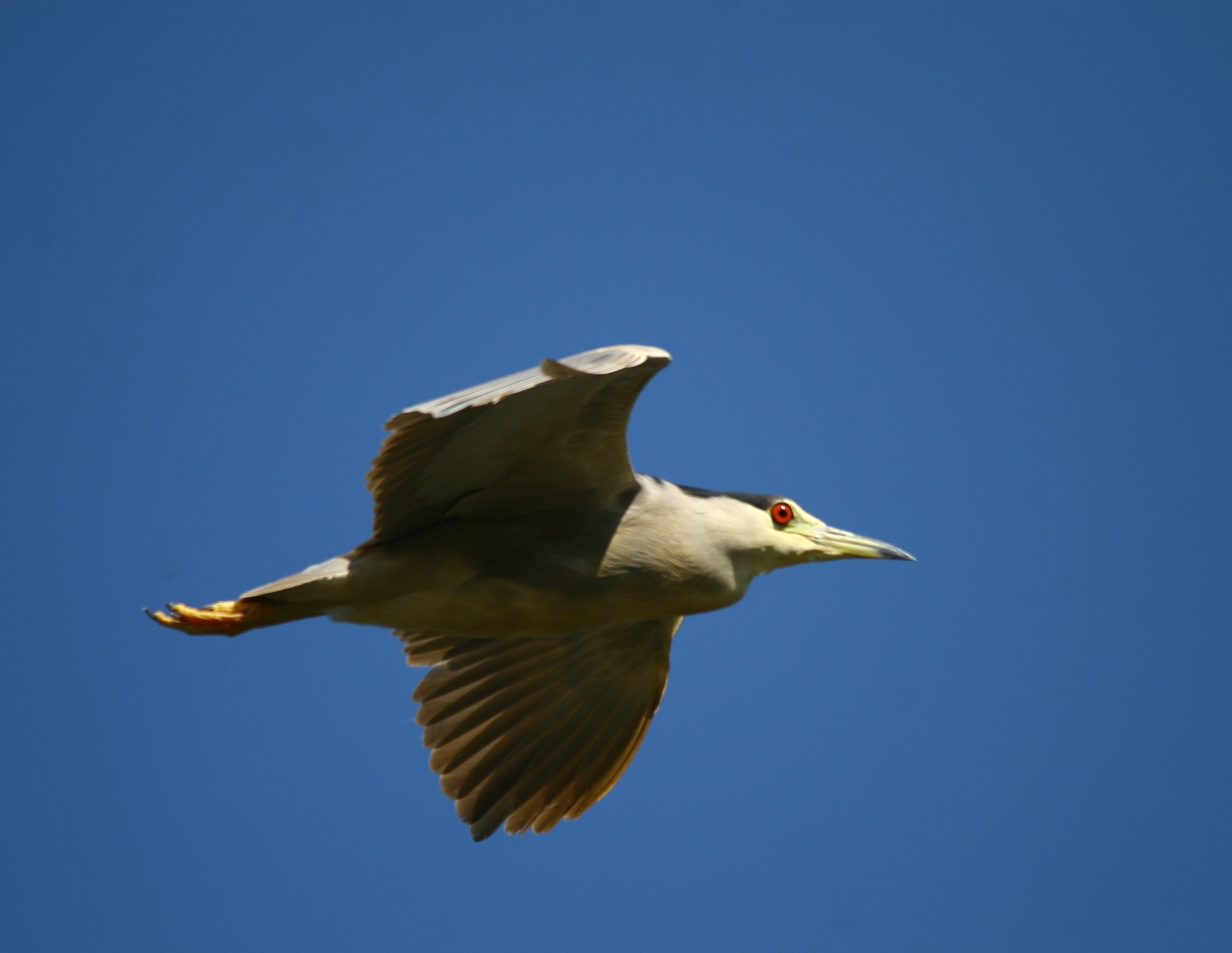 Night heron in flight - photo#4