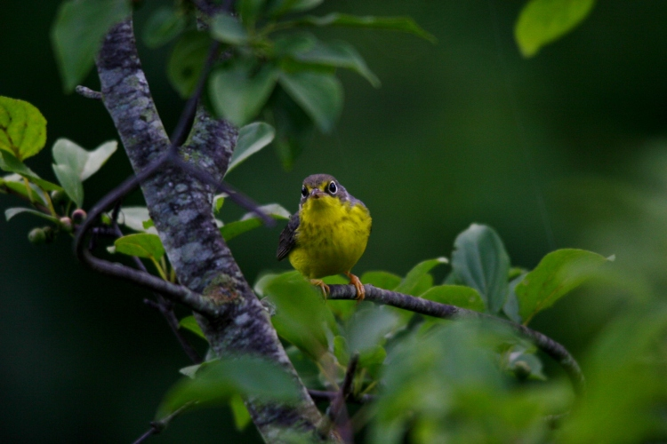 Canada Warbler at Hendrie Valley