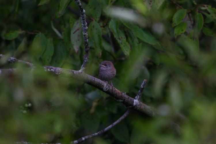 Carolina Wren (fledgling)