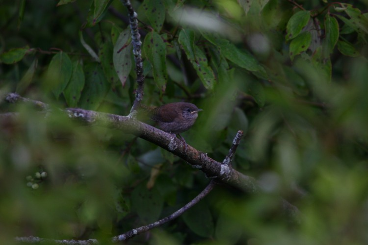 Carolina wren (fledgling)