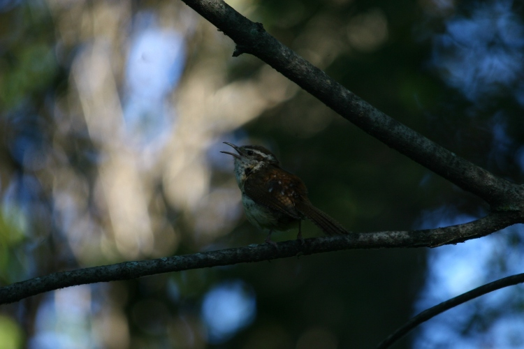 Carolina Wren (singing)