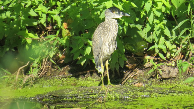 First view of juvenile Yellow-crowned Night Heron