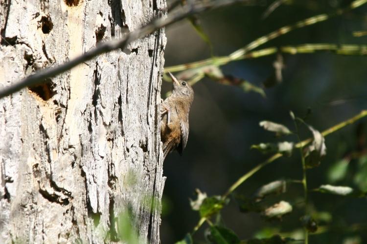 fledgling Carolina Wren