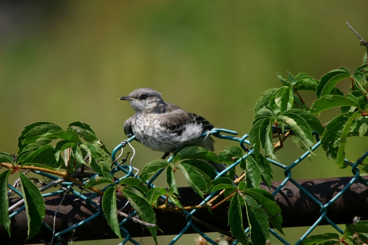 fledgling Northern Mockingbird
