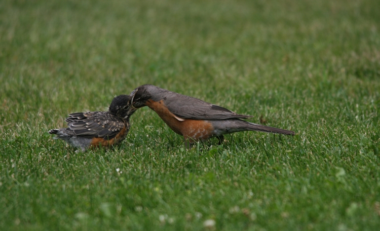 Juvenile American Robin being fed