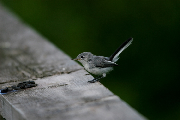 juvenile Blue-Gray Gnatcatcher on boardwalk rail