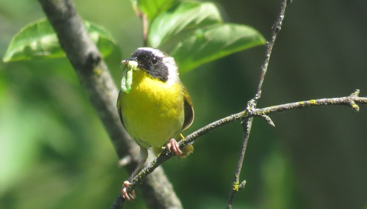 Male Common Yellowthroat with insects