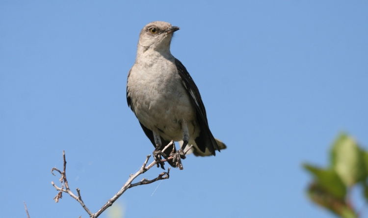 Northern Mockingbird on the alert