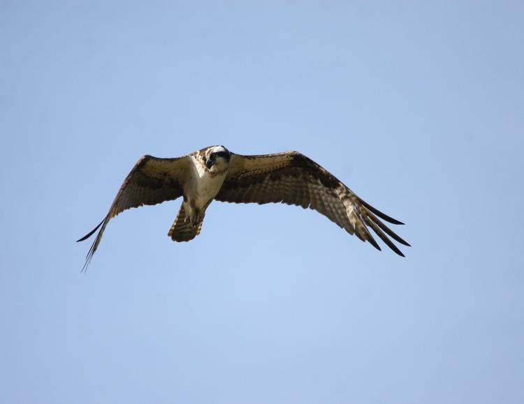 Osprey (hunting)