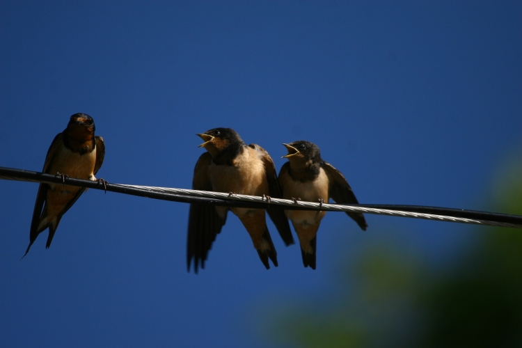 Adult Barn Swallow with fledglings