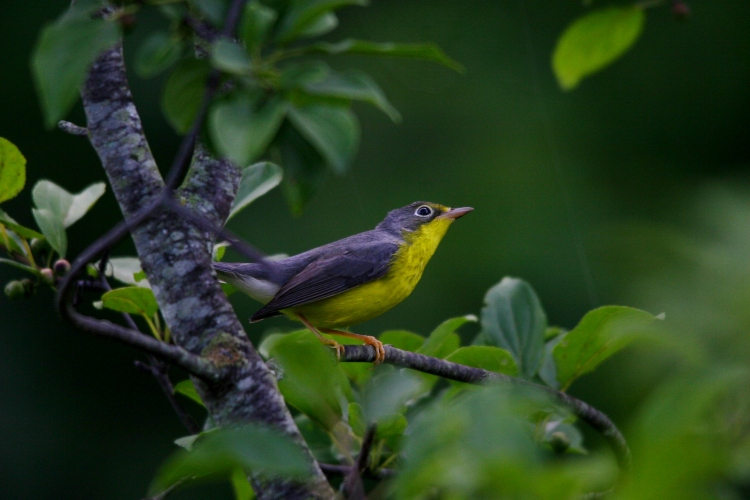 Profile of a Canada Warbler