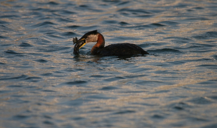Red-necked Grebe with fish