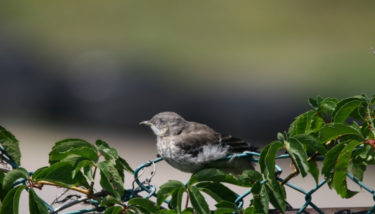 Sleeping fledgling Northern Mockingbird