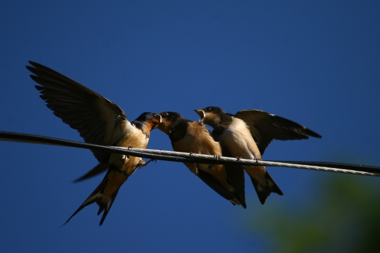 Barn Swallow fledgling fed by parent