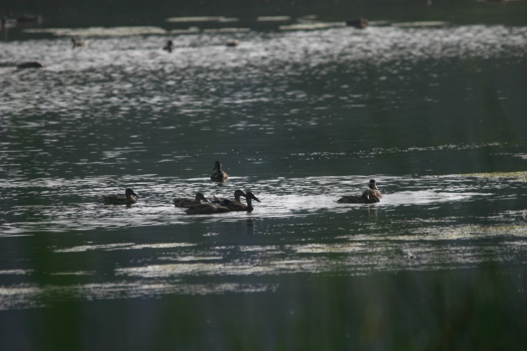Northern Shovelers (on the left)