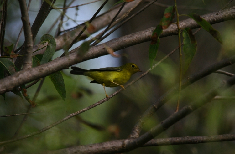 Wilson's Warbler (female)