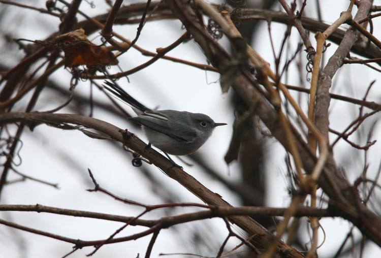 Blue-gray Gnatcatcher (2)