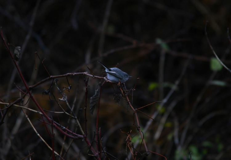 Blue-gray Gnatcatcher foraging