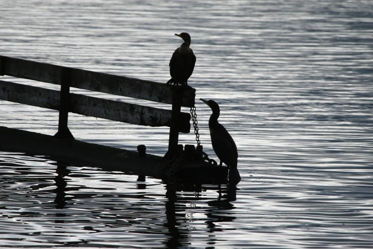 Double-crested Cormorant silhouette