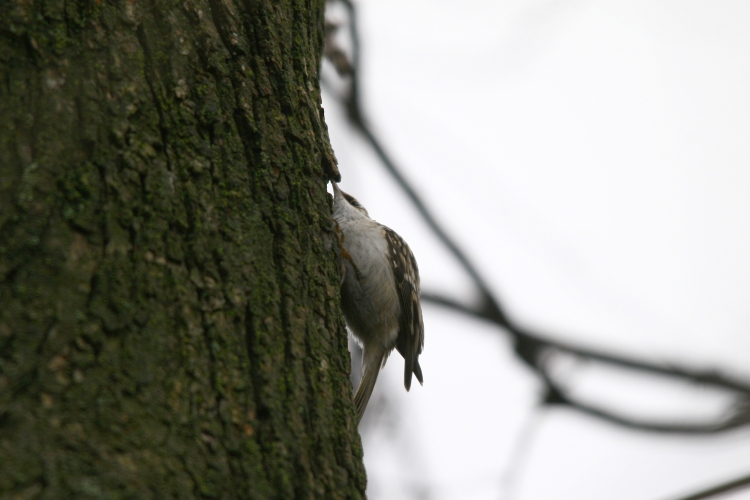 Foraging Brown Creeper