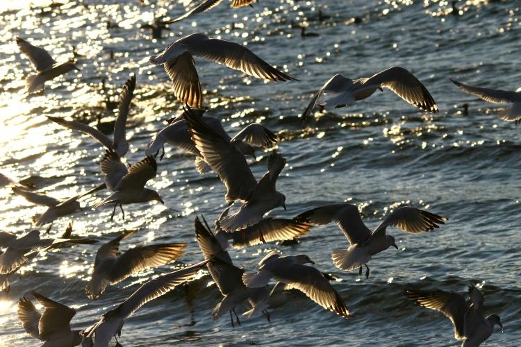 Gull and merganser feeding frenzy