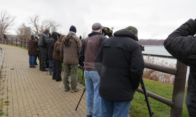 Gull watching along the Niagara River