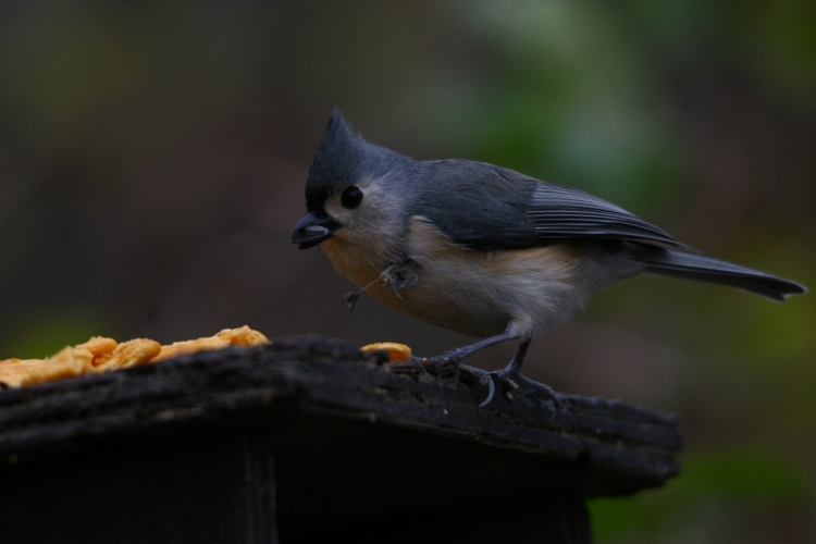 Hooked Tufted Titmouse