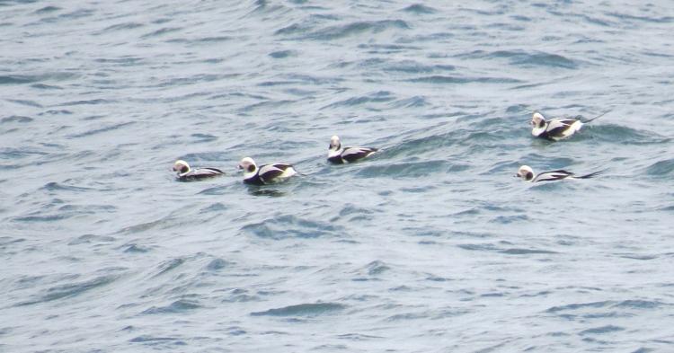 Long-tailed Ducks (male)