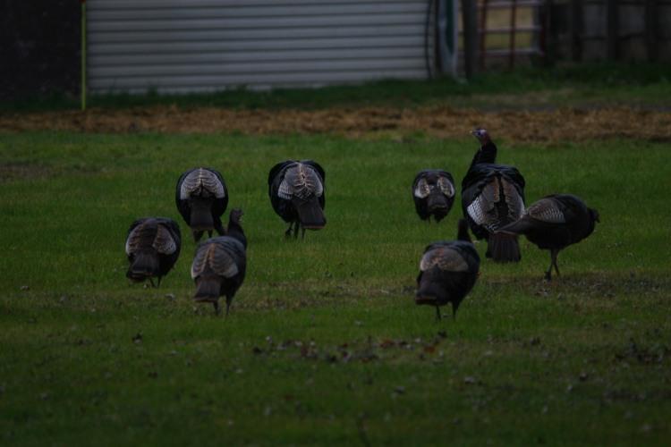 More Wild Turkeys