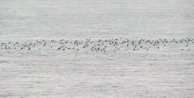 Partial view of over 2,000 Buffleheads