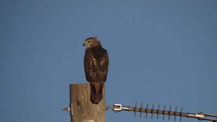 Red-tailed Hawk adjacent to Burlington GO station