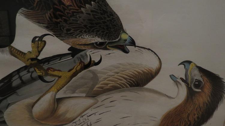 Red-Tailed Hawks (Audubon print)