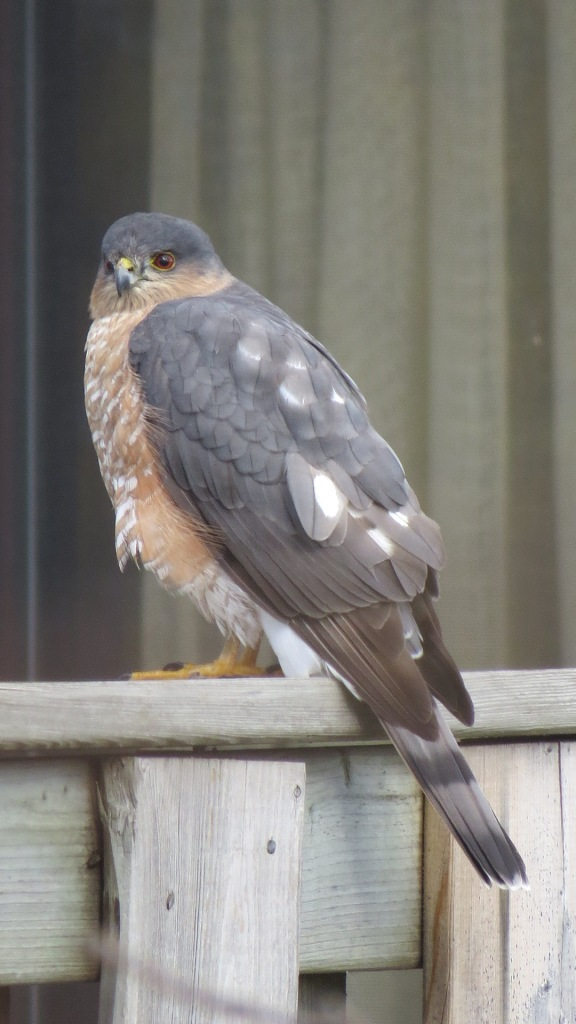Sharp-shinned Hawk on neighbour's fence