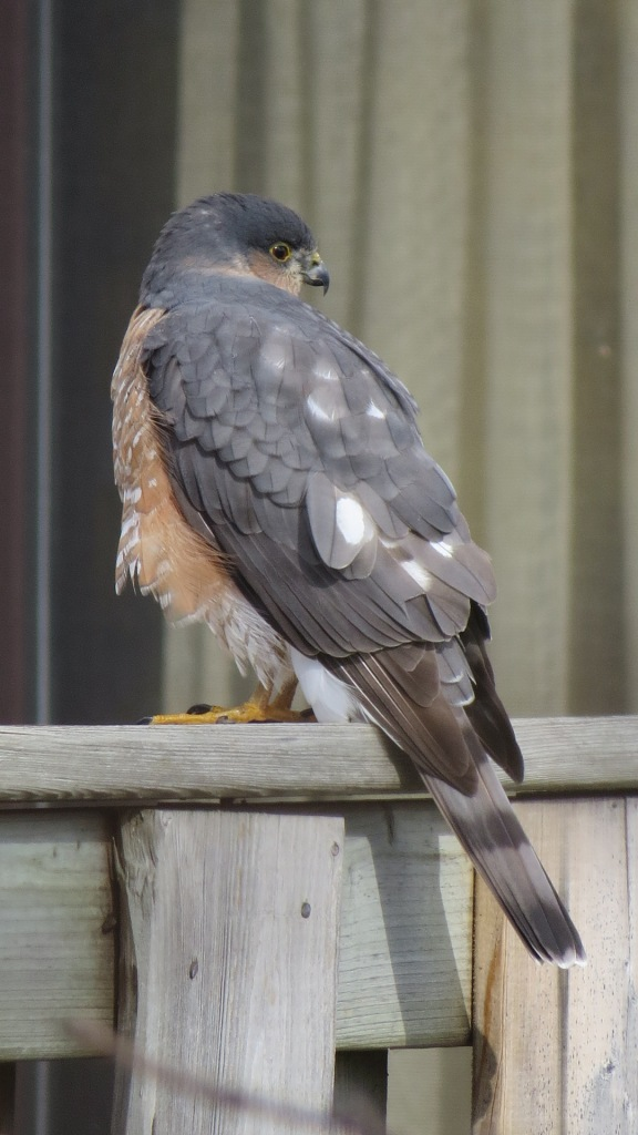 Sharp-shinned Hawk on neighbour's fence