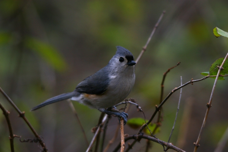 Tufted Titmouse (2)