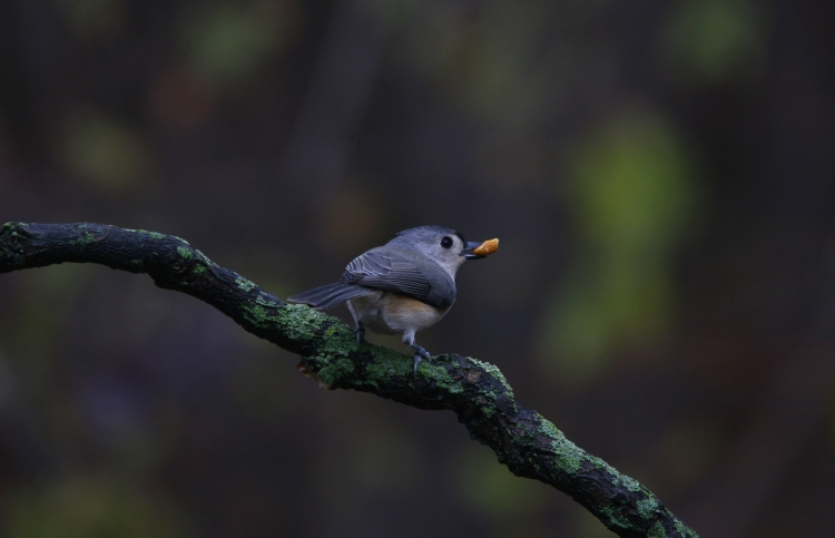 Tufted Titmouse with a peanut