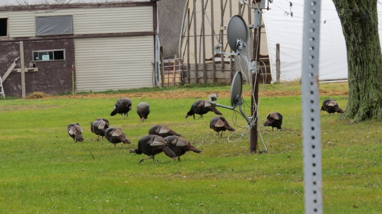 Wild Turkeys at front of home