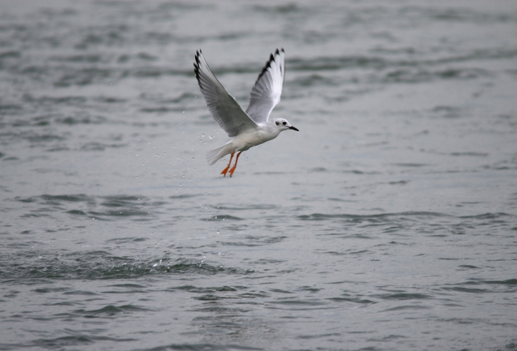 Bonaparte's Gull Emerging from water