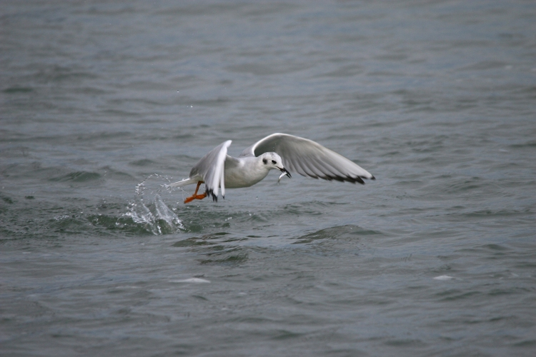 Bonaparte's Gull with shiner